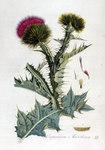 """Eselsdistel - Onopordum acanthium; Bildquelle: <a href=""""https://www.pflanzen-deutschland.de/quellen.php?bild_quelle=Jan Kops, Flora Batava, Volume 2 1807"""">Jan Kops, Flora Batava, Volume 2 1807</a>; Bildlizenz: <a href=""""https://creativecommons.org/licenses/by-sa/3.0/deed.de"""" target=_blank title=""""Namensnennung - Weitergabe unter gleichen Bedingungen 3.0 Unported (CC BY-SA 3.0)"""">CC BY-SA 3.0</a>;"""