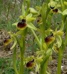 """Kleine Spinnen-Ragwurz - Ophrys araneola; Bildquelle: <a href=""""https://www.pflanzen-deutschland.de/quellen.php?bild_quelle=Wikipedia User Jeffdelonge"""">Wikipedia User Jeffdelonge</a>; Bildlizenz: <a href=""""https://creativecommons.org/licenses/by-sa/3.0/deed.de"""" target=_blank title=""""Namensnennung - Weitergabe unter gleichen Bedingungen 3.0 Unported (CC BY-SA 3.0)"""">CC BY-SA 3.0</a>;"""