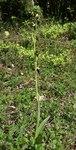 """Fliegen-Ragwurz - Ophrys insectifera; Bildquelle: <a href=""""https://www.pflanzen-deutschland.de/quellen.php?bild_quelle=Wikipedia User BerndH"""">Wikipedia User BerndH</a>; Bildlizenz: <a href=""""https://creativecommons.org/licenses/by-sa/3.0/deed.de"""" target=_blank title=""""Namensnennung - Weitergabe unter gleichen Bedingungen 3.0 Unported (CC BY-SA 3.0)"""">CC BY-SA 3.0</a>;"""