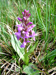 "Kleines Knabenkraut - Orchis morio; Bildquelle: &copy; <a href=""https://www.pflanzen-deutschland.de/quellen.php?bild_quelle=Schultes 2014"">Schultes 2014</a> - <b>All rights reserved</b>"
