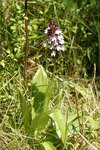 "Purpur-Knabenkraut - Orchis purpurea; Bildquelle: <a href=""https://www.pflanzen-deutschland.de/quellen.php?bild_quelle=Wikipedia User Lycaon"">Wikipedia User Lycaon</a>; Bildlizenz: <a href=""https://creativecommons.org/licenses/by-sa/3.0/deed.de"" target=_blank title=""Namensnennung - Weitergabe unter gleichen Bedingungen 3.0 Unported (CC BY-SA 3.0)"">CC BY-SA 3.0</a>;"