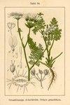 """Großer Breitsame - Orlaya grandiflora; Bildquelle: <a href=""""https://www.pflanzen-deutschland.de/quellen.php?bild_quelle=Deutschlands Flora in Abbildungen 1796"""">Deutschlands Flora in Abbildungen 1796</a>; Bildlizenz: <a href=""""https://creativecommons.org/licenses/publicdomain/deed.de"""" target=_blank title=""""Public Domain"""">Public Domain</a>;"""