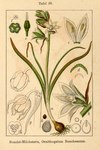 """Grüner Milchstern - Ornithogalum boucheanum; Bildquelle: <a href=""""https://www.pflanzen-deutschland.de/quellen.php?bild_quelle=Deutschlands Flora in Abbildungen, Johann Georg Sturm 1796"""">Deutschlands Flora in Abbildungen, Johann Georg Sturm 1796</a>; Bildlizenz: <a href=""""https://creativecommons.org/licenses/publicdomain/deed.de"""" target=_blank title=""""Public Domain"""">Public Domain</a>;"""