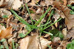 """Pyrenäen-Milchstern - Ornithogalum pyrenaicum; Bildquelle: <a href=""""https://www.pflanzen-deutschland.de/quellen.php?bild_quelle=Wikipedia User Calimo"""">Wikipedia User Calimo</a>; Bildlizenz: <a href=""""https://creativecommons.org/licenses/by-sa/3.0/deed.de"""" target=_blank title=""""Namensnennung - Weitergabe unter gleichen Bedingungen 3.0 Unported (CC BY-SA 3.0)"""">CC BY-SA 3.0</a>; <br>Wiki Commons Bildbeschreibung: <a href=""""https://commons.wikimedia.org/wiki/File:Ornithogalum_pyrenaicum_leaves.jpg"""" target=_blank title=""""https://commons.wikimedia.org/wiki/File:Ornithogalum_pyrenaicum_leaves.jpg"""">https://commons.wikimedia.org/wiki/File:Ornithogalum_pyrenaicum_leaves.jpg</a>"""