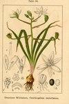 """Gewöhnlicher Dolden-Milchstern - Ornithogalum umbellatum agg.; Bildquelle: <a href=""""https://www.pflanzen-deutschland.de/quellen.php?bild_quelle=Deutschlands Flora in Abbildungen 1796"""">Deutschlands Flora in Abbildungen 1796</a>; Bildlizenz: <a href=""""https://creativecommons.org/licenses/publicdomain/deed.de"""" target=_blank title=""""Public Domain"""">Public Domain</a>;"""
