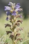 """Violette Sommerwurz - Orobanche purpurea; Bildquelle: <a href=""""https://www.pflanzen-deutschland.de/quellen.php?bild_quelle=Wikipedia User Lycaon"""">Wikipedia User Lycaon</a>; Bildlizenz: <a href=""""https://creativecommons.org/licenses/by-sa/3.0/deed.de"""" target=_blank title=""""Namensnennung - Weitergabe unter gleichen Bedingungen 3.0 Unported (CC BY-SA 3.0)"""">CC BY-SA 3.0</a>;"""