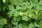 "Aufrechter Sauerklee - Oxalis stricta; Bildquelle: <a href=""https://www.pflanzen-deutschland.de/quellen.php?bild_quelle=Wikipedia User SB Johnny"">Wikipedia User SB Johnny</a>; Bildlizenz: <a href=""https://creativecommons.org/licenses/by-sa/3.0/deed.de"" target=_blank title=""Namensnennung - Weitergabe unter gleichen Bedingungen 3.0 Unported (CC BY-SA 3.0)"">CC BY-SA 3.0</a>; <br>Wiki Commons Bildbeschreibung: <a href=""https://commons.wikimedia.org/wiki/File:Oxalis_stricta_flowers_and_foliage_001.JPG"" target=_blank title=""https://commons.wikimedia.org/wiki/File:Oxalis_stricta_flowers_and_foliage_001.JPG"">https://commons.wikimedia.org/wiki/File:Oxalis_stricta_flowers_and_foliage_001.JPG</a>"