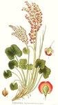 """Alpen-Säuerling - Oxyria digyna; Bildquelle: <a href=""""https://www.pflanzen-deutschland.de/quellen.php?bild_quelle=Carl Axel Magnus Lindman Bilder ur Nordens Flora 1901-1905"""">Carl Axel Magnus Lindman Bilder ur Nordens Flora 1901-1905</a>; Bildlizenz: <a href=""""https://creativecommons.org/licenses/publicdomain/deed.de"""" target=_blank title=""""Public Domain"""">Public Domain</a>;"""
