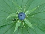 """Einbeere - Paris quadrifolia; Bildquelle: © <a href=""""https://www.pflanzen-deutschland.de/quellen.php?bild_quelle=Bönisch 2002"""">Bönisch 2002</a> - <b>All rights reserved</b>"""