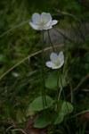 """Sumpf-Herzblatt - Parnassia palustris; Bildquelle: <a href=""""https://www.pflanzen-deutschland.de/quellen.php?bild_quelle=Wikipedia User Rotatebot"""">Wikipedia User Rotatebot</a>; Bildlizenz: <a href=""""https://creativecommons.org/licenses/by-sa/3.0/deed.de"""" target=_blank title=""""Namensnennung - Weitergabe unter gleichen Bedingungen 3.0 Unported (CC BY-SA 3.0)"""">CC BY-SA 3.0</a>; <br>Wiki Commons Bildbeschreibung: <a href=""""https://commons.wikimedia.org/wiki/File:Parnassia_palustris.jpeg"""" target=_blank title=""""https://commons.wikimedia.org/wiki/File:Parnassia_palustris.jpeg"""">https://commons.wikimedia.org/wiki/File:Parnassia_palustris.jpeg</a>"""