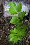 """Pastinak - Pastinaca sativa; Bildquelle: <a href=""""https://www.pflanzen-deutschland.de/quellen.php?bild_quelle=Wikipedia User Victor M. Vicente Selvas"""">Wikipedia User Victor M. Vicente Selvas</a>; Bildlizenz: <a href=""""https://creativecommons.org/licenses/by-sa/3.0/deed.de"""" target=_blank title=""""Namensnennung - Weitergabe unter gleichen Bedingungen 3.0 Unported (CC BY-SA 3.0)"""">CC BY-SA 3.0</a>;"""
