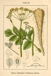 "Pastinak - Pastinaca sativa; Bildquelle: <a href=""https://www.pflanzen-deutschland.de/quellen.php?bild_quelle=Deutschlands Flora in Abbildungen 1796"">Deutschlands Flora in Abbildungen 1796</a>; Bildlizenz: <a href=""https://creativecommons.org/licenses/publicdomain/deed.de"" target=_blank title=""Public Domain"">Public Domain</a>;"