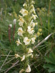 "Langähriges Läusekraut - Pedicularis elongata; Bildquelle: <a href=""https://www.pflanzen-deutschland.de/quellen.php?bild_quelle=Wikipedia User Meneerke bloem"">Wikipedia User Meneerke bloem</a>; Bildlizenz: <a href=""https://creativecommons.org/licenses/by/4.0/deed.de"" target=_blank title=""Namensnennung 4.0 International (CC BY 4.0)"">CC BY 4.0</a>;"