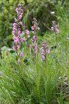 """Fleischrotes Läusekraut - Pedicularis rostratospicata; Bildquelle: <a href=""""https://www.pflanzen-deutschland.de/quellen.php?bild_quelle=Wikipedia User HermannSchachner"""">Wikipedia User HermannSchachner</a>; Bildlizenz: <a href=""""https://creativecommons.org/licenses/by-sa/3.0/deed.de"""" target=_blank title=""""Namensnennung - Weitergabe unter gleichen Bedingungen 3.0 Unported (CC BY-SA 3.0)"""">CC BY-SA 3.0</a>;"""