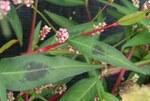 """Floh-Knöterich - Persicaria maculosa; Bildquelle: <a href=""""https://www.pflanzen-deutschland.de/quellen.php?bild_quelle=Wikipedia User Enrico Blasutto"""">Wikipedia User Enrico Blasutto</a>; Bildlizenz: <a href=""""https://creativecommons.org/licenses/by-sa/3.0/deed.de"""" target=_blank title=""""Namensnennung - Weitergabe unter gleichen Bedingungen 3.0 Unported (CC BY-SA 3.0)"""">CC BY-SA 3.0</a>; <br>Wiki Commons Bildbeschreibung: <a href=""""https://commons.wikimedia.org/wiki/File:Persicaria_maculosa_ENBLA05.jpeg"""" target=_blank title=""""https://commons.wikimedia.org/wiki/File:Persicaria_maculosa_ENBLA05.jpeg"""">https://commons.wikimedia.org/wiki/File:Persicaria_maculosa_ENBLA05.jpeg</a>"""