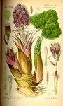 """Gewöhnliche Pestwurz - Petasites hybridus; Bildquelle: <a href=""""https://www.pflanzen-deutschland.de/quellen.php?bild_quelle=Prof. Dr. Otto Wilhelm Thome Flora von Deutschland, Österreich und der Schweiz 1885, Gera, Germany"""">Prof. Dr. Otto Wilhelm Thome Flora von Deutschland, Österreich und der Schweiz 1885, Gera, Germany</a>; Bildlizenz: <a href=""""https://creativecommons.org/licenses/publicdomain/deed.de"""" target=_blank title=""""Public Domain"""">Public Domain</a>;"""