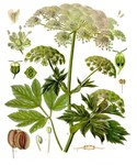 "Meisterwurz - Peucedanum ostruthium; Bildquelle: <a href=""https://www.pflanzen-deutschland.de/quellen.php?bild_quelle=Wikipedia User Editor at Large"">Wikipedia User Editor at Large</a>; Bildlizenz: <a href=""https://creativecommons.org/licenses/by-sa/3.0/deed.de"" target=_blank title=""Namensnennung - Weitergabe unter gleichen Bedingungen 3.0 Unported (CC BY-SA 3.0)"">CC BY-SA 3.0</a>;"