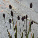 "Alpen-Lieschgras - Phleum alpinum; Bildquelle: <a href=""https://www.pflanzen-deutschland.de/quellen.php?bild_quelle=Wikipedia User Robert Flogaus-Faust"">Wikipedia User Robert Flogaus-Faust</a>; Bildlizenz: <a href=""https://creativecommons.org/licenses/by/4.0/deed.de"" target=_blank title=""Namensnennung 4.0 International (CC BY 4.0)"">CC BY 4.0</a>; <br>Wiki Commons Bildbeschreibung: <a href=""https://commons.wikimedia.org/wiki/File:Phleum_alpinum_RF.jpg"" target=_blank title=""https://commons.wikimedia.org/wiki/File:Phleum_alpinum_RF.jpg"">https://commons.wikimedia.org/wiki/File:Phleum_alpinum_RF.jpg</a>"