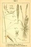"""Sand-Lieschgras - Phleum arenarium; Bildquelle: <a href=""""https://www.pflanzen-deutschland.de/quellen.php?bild_quelle=Deutschlands Flora in Abbildungen 1796"""">Deutschlands Flora in Abbildungen 1796</a>; Bildlizenz: <a href=""""https://creativecommons.org/licenses/publicdomain/deed.de"""" target=_blank title=""""Public Domain"""">Public Domain</a>;"""