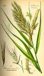 """Schilf - Phragmites australis; Bildquelle: <a href=""""https://www.pflanzen-deutschland.de/quellen.php?bild_quelle=Prof. Dr. Otto Wilhelm Thome Flora von Deutschland, Österreich und der Schweiz 1885, Gera, Germany"""">Prof. Dr. Otto Wilhelm Thome Flora von Deutschland, Österreich und der Schweiz 1885, Gera, Germany</a>; Bildlizenz: <a href=""""https://creativecommons.org/licenses/publicdomain/deed.de"""" target=_blank title=""""Public Domain"""">Public Domain</a>;"""