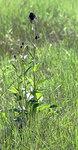 """Schwarze Teufelskralle - Phyteuma nigrum; Bildquelle: <a href=""""https://www.pflanzen-deutschland.de/quellen.php?bild_quelle=Wikipedia User Hedwig Storch"""">Wikipedia User Hedwig Storch</a>; Bildlizenz: <a href=""""https://creativecommons.org/licenses/by-sa/3.0/deed.de"""" target=_blank title=""""Namensnennung - Weitergabe unter gleichen Bedingungen 3.0 Unported (CC BY-SA 3.0)"""">CC BY-SA 3.0</a>; <br>Wiki Commons Bildbeschreibung: <a href=""""https://commons.wikimedia.org/wiki/File:Phyteuma_nigrum.jpg"""" target=_blank title=""""https://commons.wikimedia.org/wiki/File:Phyteuma_nigrum.jpg"""">https://commons.wikimedia.org/wiki/File:Phyteuma_nigrum.jpg</a>"""