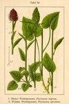 "Schwarze Teufelskralle - Phyteuma nigrum; Bildquelle: <a href=""https://www.pflanzen-deutschland.de/quellen.php?bild_quelle=Deutschlands Flora in Abbildungen 1796"">Deutschlands Flora in Abbildungen 1796</a>; Bildlizenz: <a href=""https://creativecommons.org/licenses/publicdomain/deed.de"" target=_blank title=""Public Domain"">Public Domain</a>;"