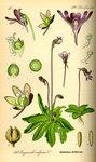 """Gewöhnliches Fettkraut - Pinguicula vulgaris; Bildquelle: <a href=""""https://www.pflanzen-deutschland.de/quellen.php?bild_quelle=Prof. Dr. Otto Wilhelm Thome Flora von Deutschland, Österreich und der Schweiz 1885, Gera, Germany"""">Prof. Dr. Otto Wilhelm Thome Flora von Deutschland, Österreich und der Schweiz 1885, Gera, Germany</a>; Bildlizenz: <a href=""""https://creativecommons.org/licenses/publicdomain/deed.de"""" target=_blank title=""""Public Domain"""">Public Domain</a>;"""