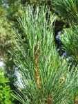 """Zirbel-Kiefer - Pinus cembra; Bildquelle: <a href=""""https://www.pflanzen-deutschland.de/quellen.php?bild_quelle=Wikipedia User Meneerke bloem"""">Wikipedia User Meneerke bloem</a>; Bildlizenz: <a href=""""https://creativecommons.org/licenses/by-sa/3.0/deed.de"""" target=_blank title=""""Namensnennung - Weitergabe unter gleichen Bedingungen 3.0 Unported (CC BY-SA 3.0)"""">CC BY-SA 3.0</a>; <br>Wiki Commons Bildbeschreibung: <a href=""""https://commons.wikimedia.org/wiki/File:Pinus_cembra_leaves.jpg"""" target=_blank title=""""https://commons.wikimedia.org/wiki/File:Pinus_cembra_leaves.jpg"""">https://commons.wikimedia.org/wiki/File:Pinus_cembra_leaves.jpg</a>"""
