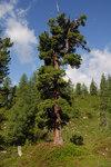 """Zirbel-Kiefer - Pinus cembra; Bildquelle: <a href=""""https://www.pflanzen-deutschland.de/quellen.php?bild_quelle=Wikipedia User Tigerente"""">Wikipedia User Tigerente</a>; Bildlizenz: <a href=""""https://creativecommons.org/licenses/by-sa/3.0/deed.de"""" target=_blank title=""""Namensnennung - Weitergabe unter gleichen Bedingungen 3.0 Unported (CC BY-SA 3.0)"""">CC BY-SA 3.0</a>;"""