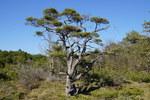 """Krummholz-Kiefer - Pinus mugo; Bildquelle: <a href=""""https://www.pflanzen-deutschland.de/quellen.php?bild_quelle=Wikipedia User Lozongo"""">Wikipedia User Lozongo</a>; Bildlizenz: <a href=""""https://creativecommons.org/licenses/by-sa/3.0/deed.de"""" target=_blank title=""""Namensnennung - Weitergabe unter gleichen Bedingungen 3.0 Unported (CC BY-SA 3.0)"""">CC BY-SA 3.0</a>; <br>Wiki Commons Bildbeschreibung: <a href=""""https://commons.wikimedia.org/wiki/File:Pinus_mugo_04.jpg"""" target=_blank title=""""https://commons.wikimedia.org/wiki/File:Pinus_mugo_04.jpg"""">https://commons.wikimedia.org/wiki/File:Pinus_mugo_04.jpg</a>"""