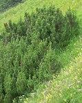 """Krummholz-Kiefer - Pinus mugo; Bildquelle: <a href=""""https://www.pflanzen-deutschland.de/quellen.php?bild_quelle=Leo Michels, Untereisesheim"""">Leo Michels, Untereisesheim</a>; Bildlizenz: <a href=""""https://creativecommons.org/licenses/by-sa/3.0/deed.de"""" target=_blank title=""""Namensnennung - Weitergabe unter gleichen Bedingungen 3.0 Unported (CC BY-SA 3.0)"""">CC BY-SA 3.0</a>;"""