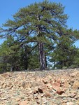 "Schwarz-Kiefer - Pinus nigra; Bildquelle: <a href=""https://www.pflanzen-deutschland.de/quellen.php?bild_quelle=Wikipedia User Enigma51"">Wikipedia User Enigma51</a>; Bildlizenz: <a href=""https://creativecommons.org/licenses/by-sa/3.0/deed.de"" target=_blank title=""Namensnennung - Weitergabe unter gleichen Bedingungen 3.0 Unported (CC BY-SA 3.0)"">CC BY-SA 3.0</a>; <br>Wiki Commons Bildbeschreibung: <a href=""https://commons.wikimedia.org/wiki/File:Pinus_nigra01.jpg"" target=_blank title=""https://commons.wikimedia.org/wiki/File:Pinus_nigra01.jpg"">https://commons.wikimedia.org/wiki/File:Pinus_nigra01.jpg</a>"