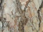 """Schwarz-Kiefer - Pinus nigra; Bildquelle: <a href=""""https://www.pflanzen-deutschland.de/quellen.php?bild_quelle=Wikipedia User Marrrrrra"""">Wikipedia User Marrrrrra</a>; Bildlizenz: <a href=""""https://creativecommons.org/licenses/by-sa/3.0/deed.de"""" target=_blank title=""""Namensnennung - Weitergabe unter gleichen Bedingungen 3.0 Unported (CC BY-SA 3.0)"""">CC BY-SA 3.0</a>; <br>Wiki Commons Bildbeschreibung: <a href=""""https://commons.wikimedia.org/wiki/File:Pinus_nigra_(1111)_13.JPG"""" target=_blank title=""""https://commons.wikimedia.org/wiki/File:Pinus_nigra_(1111)_13.JPG"""">https://commons.wikimedia.org/wiki/File:Pinus_nigra_(1111)_13.JPG</a>"""