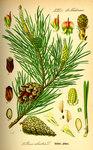 """Wald-Kiefer - Pinus sylvestris; Bildquelle: <a href=""""https://www.pflanzen-deutschland.de/quellen.php?bild_quelle=Prof. Dr. Otto Wilhelm Thome Flora von Deutschland, Österreich und der Schweiz 1885, Gera, Germany"""">Prof. Dr. Otto Wilhelm Thome Flora von Deutschland, Österreich und der Schweiz 1885, Gera, Germany</a>; Bildlizenz: <a href=""""https://creativecommons.org/licenses/publicdomain/deed.de"""" target=_blank title=""""Public Domain"""">Public Domain</a>;"""
