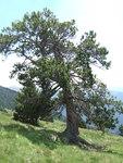 """Haken-Kiefer - Pinus rotundata; Bildquelle: <a href=""""https://www.pflanzen-deutschland.de/quellen.php?bild_quelle=Wikipedia User Simonjoan"""">Wikipedia User Simonjoan</a>; Bildlizenz: <a href=""""https://creativecommons.org/licenses/by-sa/3.0/deed.de"""" target=_blank title=""""Namensnennung - Weitergabe unter gleichen Bedingungen 3.0 Unported (CC BY-SA 3.0)"""">CC BY-SA 3.0</a>;"""