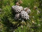 """Moor-Kiefer - Pinus uncinata; Bildquelle: <a href=""""https://www.pflanzen-deutschland.de/quellen.php?bild_quelle=Wikipedia User Simonjoan"""">Wikipedia User Simonjoan</a>; Bildlizenz: <a href=""""https://creativecommons.org/licenses/by-sa/3.0/deed.de"""" target=_blank title=""""Namensnennung - Weitergabe unter gleichen Bedingungen 3.0 Unported (CC BY-SA 3.0)"""">CC BY-SA 3.0</a>; <br>Wiki Commons Bildbeschreibung: <a href=""""https://commons.wikimedia.org/wiki/File:Pinus_uncinata3.JPG"""" target=_blank title=""""https://commons.wikimedia.org/wiki/File:Pinus_uncinata3.JPG"""">https://commons.wikimedia.org/wiki/File:Pinus_uncinata3.JPG</a>"""