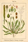 "Krähenfuß Wegerich - Plantago coronopus; Bildquelle: <a href=""https://www.pflanzen-deutschland.de/quellen.php?bild_quelle=Deutschlands Flora in Abbildungen 1796"">Deutschlands Flora in Abbildungen 1796</a>; Bildlizenz: <a href=""https://creativecommons.org/licenses/publicdomain/deed.de"" target=_blank title=""Public Domain"">Public Domain</a>;"