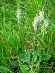 "Mittlerer Wegerich - Plantago media; Bildquelle: <a href=""https://www.pflanzen-deutschland.de/quellen.php?bild_quelle=Wikipedia User Hugo.arg"">Wikipedia User Hugo.arg</a>; Bildlizenz: <a href=""https://creativecommons.org/licenses/by/4.0/deed.de"" target=_blank title=""Namensnennung 4.0 International (CC BY 4.0)"">CC BY 4.0</a>; <br>Wiki Commons Bildbeschreibung: <a href=""https://commons.wikimedia.org/wiki/File:Plantago_media001.JPG"" target=_blank title=""https://commons.wikimedia.org/wiki/File:Plantago_media001.JPG"">https://commons.wikimedia.org/wiki/File:Plantago_media001.JPG</a>"