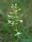 """Weiße Waldhyazinthe - Platanthera bifolia; Bildquelle: © <a href=""""https://www.pflanzen-deutschland.de/quellen.php?bild_quelle=Bönisch 2009"""">Bönisch 2009</a> - <b>All rights reserved</b>"""