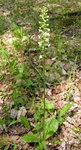 """Weiße Waldhyazinthe - Platanthera bifolia; Bildquelle: <a href=""""https://www.pflanzen-deutschland.de/quellen.php?bild_quelle=Wikipedia User Algirdas"""">Wikipedia User Algirdas</a>; Bildlizenz: <a href=""""https://creativecommons.org/licenses/by-sa/3.0/deed.de"""" target=_blank title=""""Namensnennung - Weitergabe unter gleichen Bedingungen 3.0 Unported (CC BY-SA 3.0)"""">CC BY-SA 3.0</a>;"""