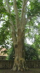 "Ahornblättrige Platane - Platanus x hispanica; Bildquelle: <a href=""https://www.pflanzen-deutschland.de/quellen.php?bild_quelle=Wikipedia User Mountain"">Wikipedia User Mountain</a>; Bildlizenz: <a href=""https://creativecommons.org/licenses/by-sa/3.0/deed.de"" target=_blank title=""Namensnennung - Weitergabe unter gleichen Bedingungen 3.0 Unported (CC BY-SA 3.0)"">CC BY-SA 3.0</a>; <br>Wiki Commons Bildbeschreibung: <a href=""https://commons.wikimedia.org/wiki/File:Platanus_x_hispanica_tree_at_Lorsch_Abbey.jpg"" target=_blank title=""https://commons.wikimedia.org/wiki/File:Platanus_x_hispanica_tree_at_Lorsch_Abbey.jpg"">https://commons.wikimedia.org/wiki/File:Platanus_x_hispanica_tree_at_Lorsch_Abbey.jpg</a>"
