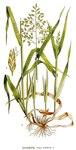 """Einjähriges Rispengras - Poa annua; Bildquelle: <a href=""""https://www.pflanzen-deutschland.de/quellen.php?bild_quelle=Carl Axel Magnus Lindman Bilder ur Nordens Flora 1901-1905"""">Carl Axel Magnus Lindman Bilder ur Nordens Flora 1901-1905</a>; Bildlizenz: <a href=""""https://creativecommons.org/licenses/publicdomain/deed.de"""" target=_blank title=""""Public Domain"""">Public Domain</a>;"""