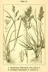 "Knolliges Rispengras - Poa bulbosa; Bildquelle: <a href=""https://www.pflanzen-deutschland.de/quellen.php?bild_quelle=Deutschlands Flora in Abbildungen 1796"">Deutschlands Flora in Abbildungen 1796</a>; Bildlizenz: <a href=""https://creativecommons.org/licenses/publicdomain/deed.de"" target=_blank title=""Public Domain"">Public Domain</a>;"