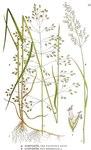 "Sumpf-Rispengras - Poa palustris; Bildquelle: <a href=""https://www.pflanzen-deutschland.de/quellen.php?bild_quelle=Carl Axel Magnus Lindman Bilder ur Nordens Flora 1901-1905"">Carl Axel Magnus Lindman Bilder ur Nordens Flora 1901-1905</a>; Bildlizenz: <a href=""https://creativecommons.org/licenses/publicdomain/deed.de"" target=_blank title=""Public Domain"">Public Domain</a>;"