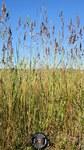 """Gewöhnliches Wiesen-Rispengras - Poa pratensis; Bildquelle: <a href=""""http://www.pflanzen-deutschland.de/quellen.php?bild_quelle=Wikipedia User Amada44"""">Wikipedia User Amada44</a>; Bildlizenz: <a href=""""https://creativecommons.org/licenses/by-sa/2.0/deed.de"""" target=_blank title=""""Namensnennung - Weitergabe unter gleichen Bedingungen 2.0 Unported (CC BY-SA 2.0)"""">CC BY 2.0</a>; <br>Wiki Commons Bildbeschreibung: <a href=""""https://commons.wikimedia.org/wiki/File:Poa_pratensis_plant2_(7398744246).jpg"""" target=_blank title=""""https://commons.wikimedia.org/wiki/File:Poa_pratensis_plant2_(7398744246).jpg"""">https://commons.wikimedia.org/wiki/File:Poa_pratensis_plant2_(7398744246).jpg</a>"""
