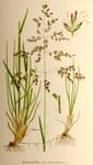 """Gewöhnliches Wiesen-Rispengras - Poa pratensis; Bildquelle: <a href=""""http://www.pflanzen-deutschland.de/quellen.php?bild_quelle=C. A. M. Lindmans Bilder ur Nordens Flora, tredje upplagan 1917-1926."""">C. A. M. Lindmans Bilder ur Nordens Flora, tredje upplagan 1917-1926.</a>; Bildlizenz: <a href=""""https://creativecommons.org/licenses/by-sa/3.0/deed.de"""" target=_blank title=""""Namensnennung - Weitergabe unter gleichen Bedingungen 3.0 Unported (CC BY-SA 3.0)"""">CC BY-SA 3.0</a>; <br>Wiki Commons Bildbeschreibung: <a href=""""https://commons.wikimedia.org/wiki/File:Poa_pratensis.jpg"""" target=_blank title=""""https://commons.wikimedia.org/wiki/File:Poa_pratensis.jpg"""">https://commons.wikimedia.org/wiki/File:Poa_pratensis.jpg</a>"""