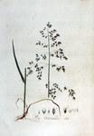 """Gewöhnliches Rispengras - Poa trivialis; Bildquelle: <a href=""""https://www.pflanzen-deutschland.de/quellen.php?bild_quelle=Flora Batava. Volume 3 1814"""">Flora Batava. Volume 3 1814</a>; Bildlizenz: <a href=""""https://creativecommons.org/licenses/by-sa/3.0/deed.de"""" target=_blank title=""""Namensnennung - Weitergabe unter gleichen Bedingungen 3.0 Unported (CC BY-SA 3.0)"""">CC BY-SA 3.0</a>; <br>Wiki Commons Bildbeschreibung: <a href=""""https://commons.wikimedia.org/wiki/File:Poa_trivialis_%E2%80%94_Flora_Batava_%E2%80%94_Volume_v3.jpg"""" target=_blank title=""""https://commons.wikimedia.org/wiki/File:Poa_trivialis_%E2%80%94_Flora_Batava_%E2%80%94_Volume_v3.jpg"""">https://commons.wikimedia.org/wiki/File:Poa_trivialis_%E2%80%94_Flora_Batava_%E2%80%94_Volume_v3.jpg</a>"""