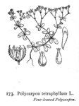 "Vierblättriges Nagelkraut - Polycarpon tetraphyllum; Bildquelle: <a href=""https://www.pflanzen-deutschland.de/quellen.php?bild_quelle=Illustrations of the British Flora 1924 - Walter Hood Fitch"">Illustrations of the British Flora 1924 - Walter Hood Fitch</a>; Bildlizenz: <a href=""https://creativecommons.org/licenses/publicdomain/deed.de"" target=_blank title=""Public Domain"">Public Domain</a>;"