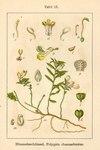 """Buchsblättriges Kreuzblümchen - Polygala chamaebuxus; Bildquelle: <a href=""""https://www.pflanzen-deutschland.de/quellen.php?bild_quelle=Deutschlands Flora in Abbildungen 1796"""">Deutschlands Flora in Abbildungen 1796</a>; Bildlizenz: <a href=""""https://creativecommons.org/licenses/publicdomain/deed.de"""" target=_blank title=""""Public Domain"""">Public Domain</a>;"""