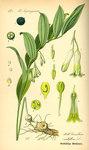 """Vielblütige Weißwurz - Polygonatum multiflorum; Bildquelle: <a href=""""https://www.pflanzen-deutschland.de/quellen.php?bild_quelle=Prof. Dr. Otto Wilhelm Thome Flora von Deutschland, Österreich und der Schweiz 1885, Gera, Germany"""">Prof. Dr. Otto Wilhelm Thome Flora von Deutschland, Österreich und der Schweiz 1885, Gera, Germany</a>; Bildlizenz: <a href=""""https://creativecommons.org/licenses/publicdomain/deed.de"""" target=_blank title=""""Public Domain"""">Public Domain</a>;"""